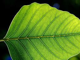 large-leaf
